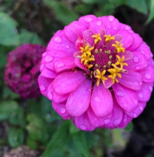 pink zinnia2